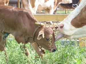 Védjük a teheneket!
