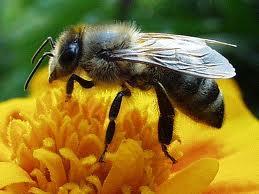 A méhek