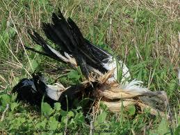 A kulinga madár